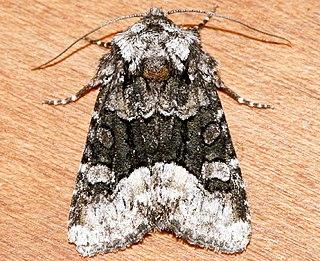 <i>Lacinipolia davena</i> Species of moth
