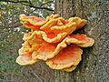 Laetiporus sulphureus (Chicken of the woods) on an oak tree - 20070921.jpg