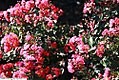 Lagerstroemia indica Tightwad Red 3zz.jpg