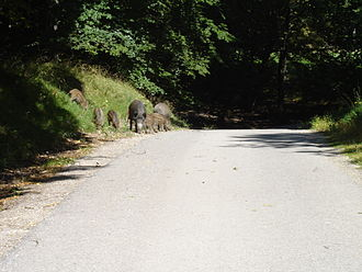 Lainzer Tiergarten - Wild boars on a path in the Lainzer Tiergarten.