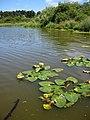 Lake lily pads. INFO IN PANORAMIO DESCRIPTION - panoramio.jpg