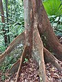 Lambir Hills National Park - tree 1.jpg