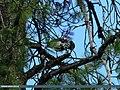 Large-spotted Nutcracker (Nucifraga multipunctata) (21487607954).jpg