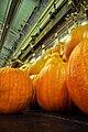 Large Pumpkins (3981911083).jpg