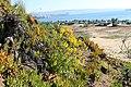 Las salinas - Calceolaria glandulosa (33628128320).jpg