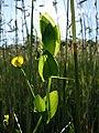 Lathyrus aphaca sl59.jpg