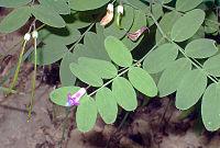 Lathyrus niger eF