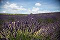 Lavender & snail shell outside Aix-en-Provence 2.jpg