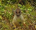 Lavskrika Siberian Jay (20324223646).jpg