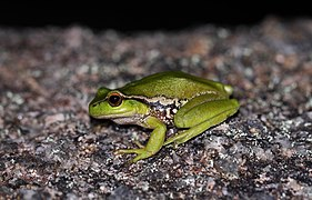 Leaf-Green Tree Frog (Litoria nudidigita) (8397029143).jpg