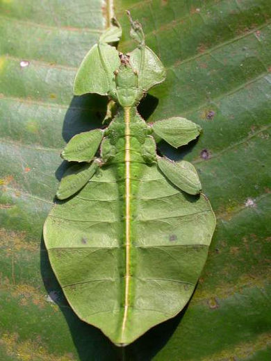 A Phyllium sp., mimicking a leaf LeafInsect.jpg