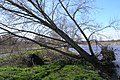 Leaning Willow - geograph.org.uk - 744829.jpg