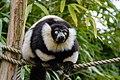 Lemur (26992471928).jpg
