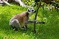Lemur (35779388914).jpg