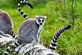 Lemur (37140361872).jpg