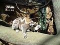 Lemur catta skansen 2006.jpg