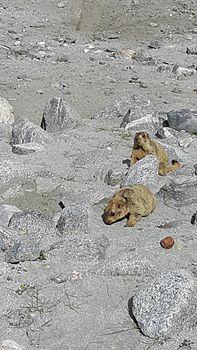 Lemur in Leh ladakh 13.jpg