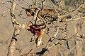 Leopardo (Panthera pardus) devorando un antílope, parque nacional Kruger, Sudáfrica, 2018-07-26, DD 06.jpg