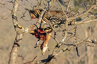 African leopard - Leopard with antelope kill in Kruger National Park, South Africa