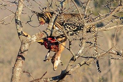 Leopard - Wikiwand