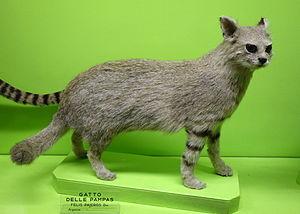 Pampas cat - A Pampas cat museum specimen
