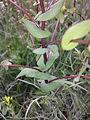 Lepidium perfoliatum sl2.jpg