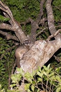 Daraina sportive lemur Species of lemur