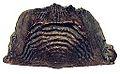 Leptaena depressa schweden wenlock mulde-beds cgw5074 1992.jpg