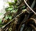 Lestes viridis. Willow Emerald Damselfly. - Flickr - gailhampshire.jpg