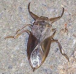 250px-Lethocerus_americanus23.jpg