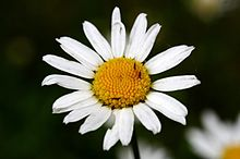 Leucanthemum ircutianum wikipedia leucanthemum ircutianum altavistaventures Image collections