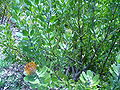 Leucopspermum praecox.JPG