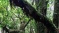 Levada do Furado (Ribeiro Frio) moss forest (26320345279).jpg