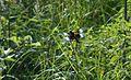 Libellula luctuosa male, Fort Snelling, MN - Flickr - odako1.jpg