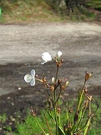 Libertia chilensis 041