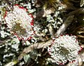 Lichen (far closer).jpg