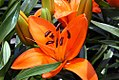 Lilium Tiny Dino 2zz.jpg