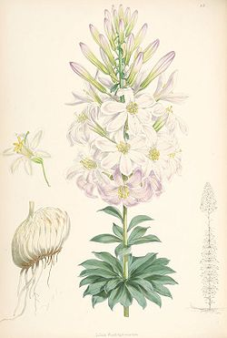 Lilium washingtonianum.jpg