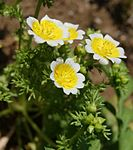 Limnanthes douglasii flowers.JPG