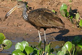 Limpkin (Aramus guarauna) with snail in its bill ... (27635882004).jpg