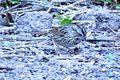 Lincoln's Sparrow (26263921976).jpg