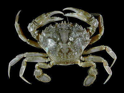 Vernal crab from the Belgian coastal waters on board of RV Belgica.