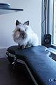 Lionhead bunny.jpg