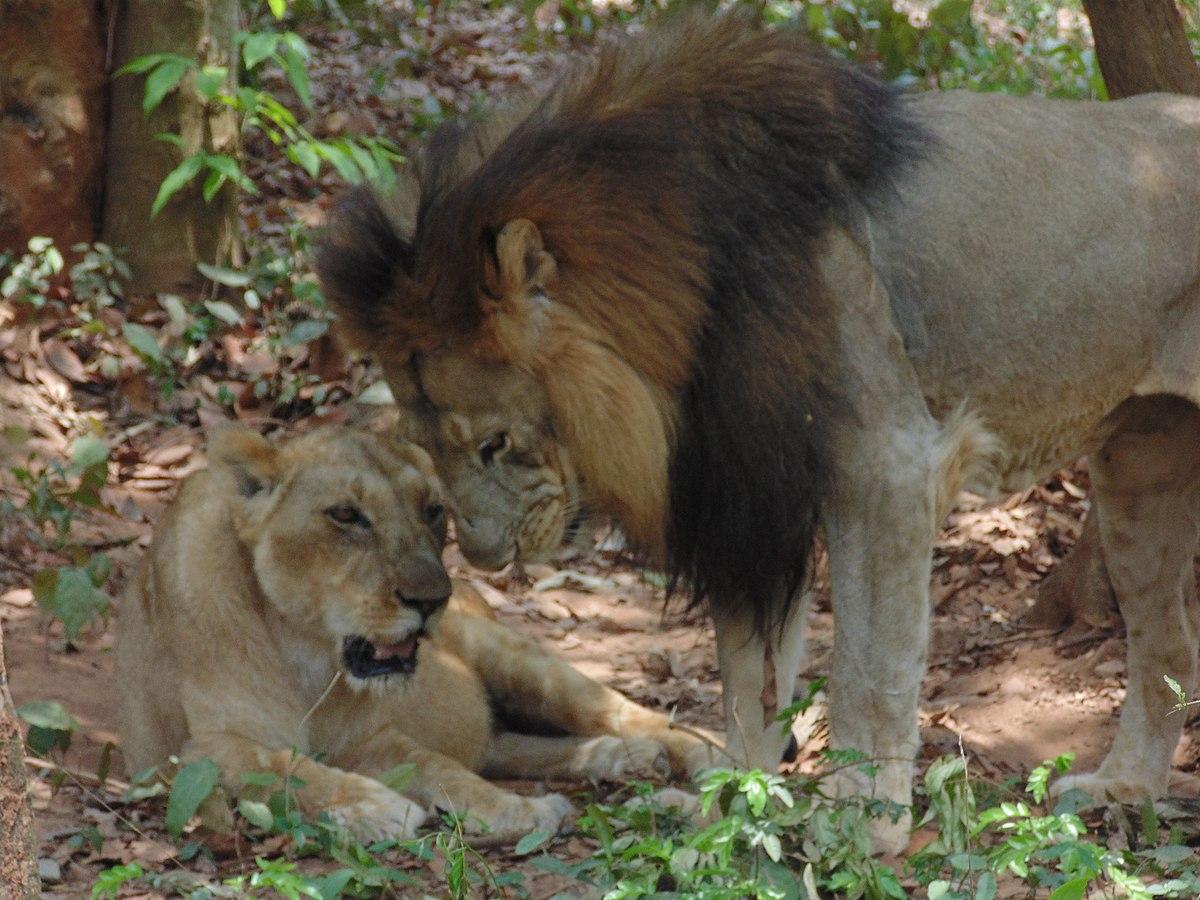 Panthera leo leo - Wikipedia