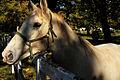 Lipiza, Slovenia 2015. Lipizzan Horses (22865332892).jpg