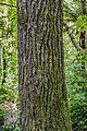 Liquidambar styraciflua in Eastwoodhill Arboretum (9).jpg