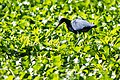 Little blue heron (40896662924).jpg