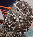 Littleowl180°head.jpg
