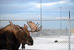 Living with wildlife, Moose 161101-F-SK378-0226.jpg