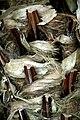 Livistona australis in Auckland Botanic Gardens 01.jpg